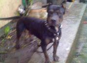 Urgent compro perro pitboll
