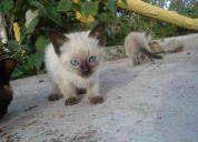Vendo un par de hermosas gatitas siames