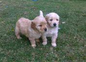 Cachorros golden retriver de venta