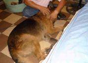 pastor aleman cachorros en venta