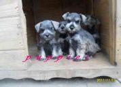 Hermosos cachorros schnauzer miniatura 100 % puros!!