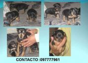 Vendo hermosos pinscher