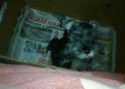 De lujo znauzer cachorros 083729399