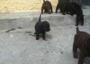 Cachorros labrador retriver machos chocolate y negro