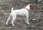 Jack russell terrier (parson)
