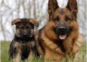 Vendo cachorros pastor aleman (puros) (escuela adiestramiento canino ejército)