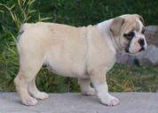 Vendo hermosos bulldog ingles linea importada con gir 2