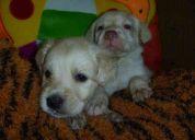 Vendo hermosos cachorros labradores retriver americanos 097696057