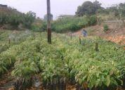 Plantas de cacao injerto ccn - 51