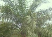 Vendo 158 hectareas con palma africana 90% plano junto a rio
