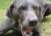Busco pareja para perro weimaraner (quito - ecuador)