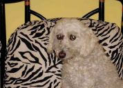 Encontramos perrito french poodle!