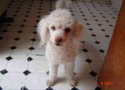 Busco a mi perrito de color blanco, castellano