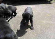 Regalo  cachorros de 2 meses de edad de raza boxer y labrador