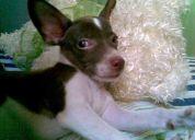 Soy un perro chiahuahua perdido