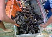 Venta de alevines de chame o semilla  de calidad y com garantia de agua dulce