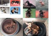 Cachorros pincher miniatura- doberman pinscher perros enanos