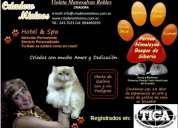 Mininos el mejor criadero felino del paÍs comprobado gatos bellos y legÍtimos de razas
