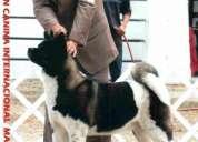 Criadero de akitas americanos y huskys siberianos santa maria  - j.l.g.j. allqu casia
