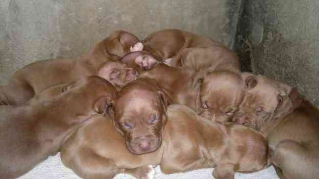 pit bull red nouse