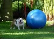 Cachorritos bulldog ingles!!! 087371558