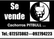Venta de cachorros apbt (american pit-bull terrier)