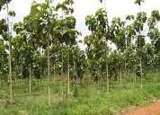 150 hectareas de teca