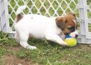 Adicionales con encanto jack russell terrier cachorros en venta