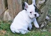 Bulldog frances saludable para la adopcion