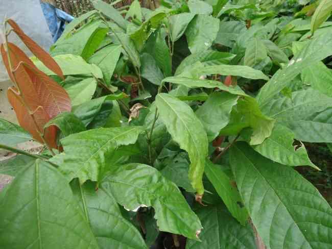 Vivero agroforestal-Ventas plantas de teca