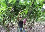 Vendo hermosa propiedad cacaotera,productiva