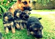 Cachorros pastor alemán hermosos ejemplares