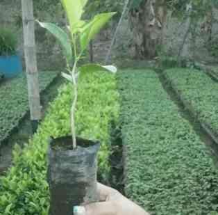 vivero de plantas agroforestales maylin quevedo