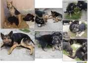 Cachorritos pastor alemán