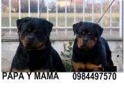 Vendo cachorros rottweiler padres a la vista y ambos con pedigree