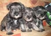 Cachorro schnauzer (hembra)