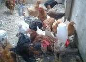 Vendo pollos mejorados con ful engorde