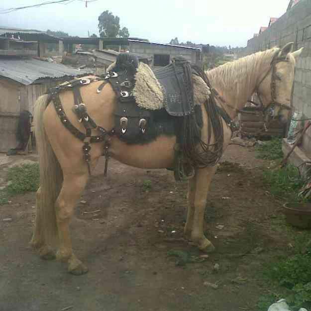 caballo: totalmente para chagreria bien alentado