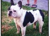 Cachorros bulldog frances 1 hembra disponibles padre argentino