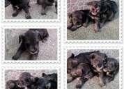 De venta cachorros schnauzer $100