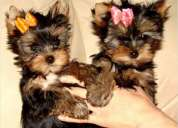 Disponibles cachorritos de yorkshire terrier, machos y hembras