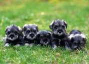 Hermosos cachorros schnauzer miniatura 100% puros hijos de padres con pedigree