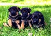 Cachorros pastor aleman con pedigri, padre europeo