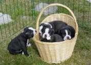 Boston terrier cachorros macho y hembra