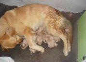 Venta de cachorros golden retriever
