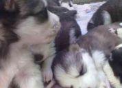 Se venden cachorros husky siberiano, de raza pura.