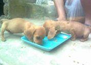 Vendo pareja de cachorros raza teckel salchichas de fino pelaje color caramelo