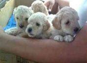 Vendo hermosos  cachorros french poodle