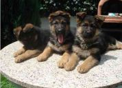Cachorros pastor padres con pedigree