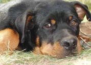 Perro reproductor raza rottweiler